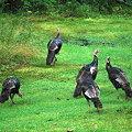 Wild Turkeys 8-24-09