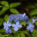 Photos: 森の中のクロヒメアジサイ_01
