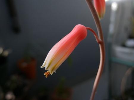 アロエDiegoの花