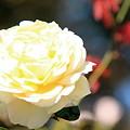 平和公園・薔薇02-11.10.20