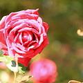 平和公園・薔薇03-11.10.20