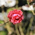 平和公園・薔薇04-11.10.20