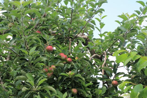 リンゴの実02-12.07.10