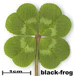 black-frog