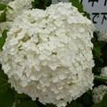 Photos: 2012あじさい3