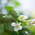 Photos: クレソンの花