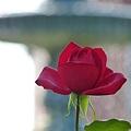 バラが咲いた・・・・真っ赤なバラが。