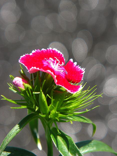 ジュピターの花