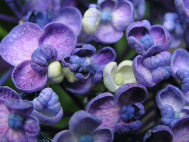 Photos: 渦紫陽花