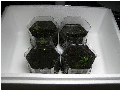 水上葉栽培はじめました。