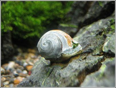 白石巻貝。