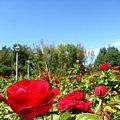 秋咲くバラたち♪