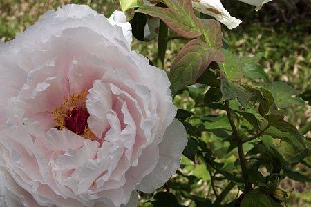 2009.05.23 米沢 上杉博物館 牡丹