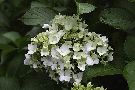 2009.06.06 追分市民の森 紫陽花-2