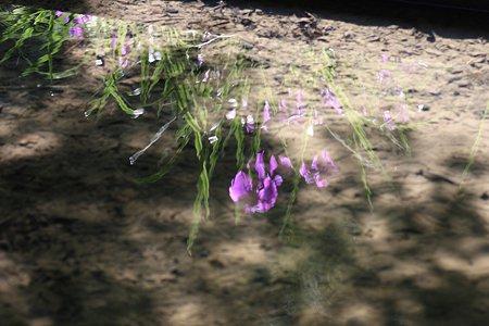 2009.06.07 明月院 本堂後庭園 花菖蒲-1