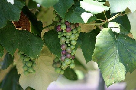 2009.08.12 遠野 葡萄
