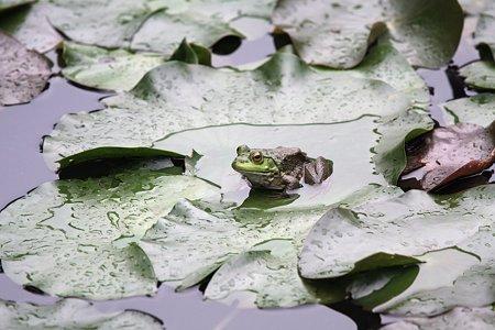 2009.09.12 大池公園 ウシガエル