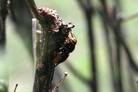 2009.09.22 追分市民の森 アシナガバチ