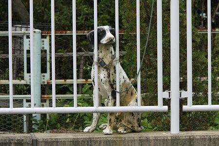 2009.10.17 和泉川 番犬
