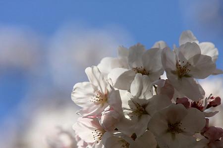 2011.04.13 和泉川 桜
