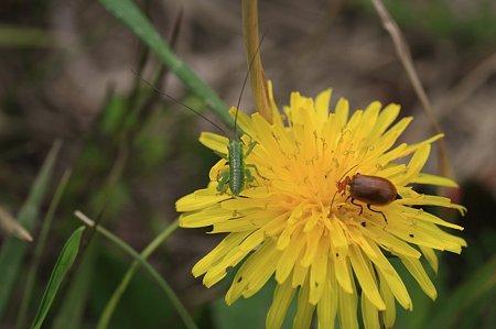2011.04.21 追分市民の森  タンポポにコロギスの幼虫とウリハムシ