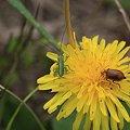 Photos: 2011.04.21 追分市民の森  タンポポにコロギスの幼虫とウリハムシ
