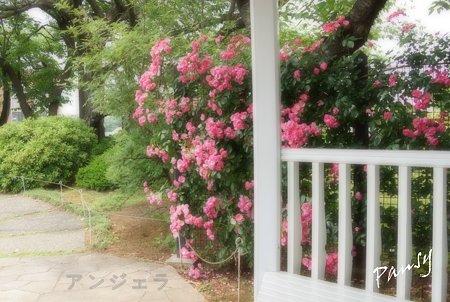 rose garden..4