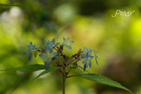 繊細・・ 山紫陽花