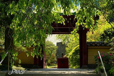 山紫陽花咲く・・寺院・・