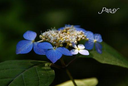 モン・アソ・・ 山紫陽花