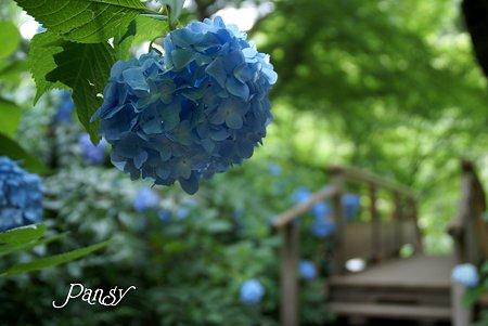 明月院ブルー・・11