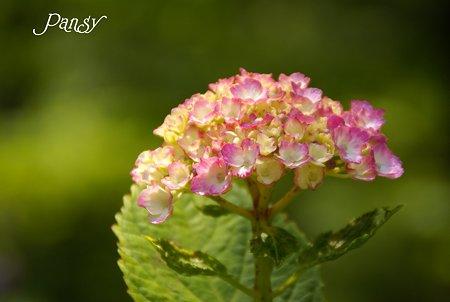 Pink・・  八景島