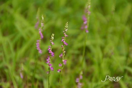 ネジバナの咲く野原・・