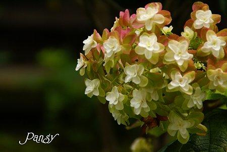 夏の柏葉紫陽花・・