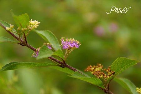 紫式部の花・・