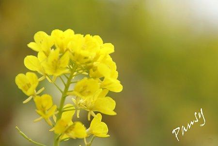 菜の花・・松田山 11