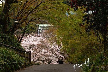 妙本寺の桜景色・・1