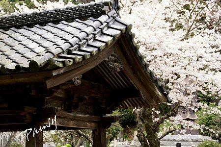 妙本寺の桜景色・・3
