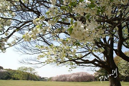 桜景色・・14