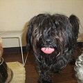 Photos: モップ犬