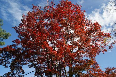 紅葉の大木!(111112)