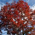 写真: 紅葉の大木!(111112)