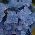 Photos: 小雨の中咲く、アジサイ!