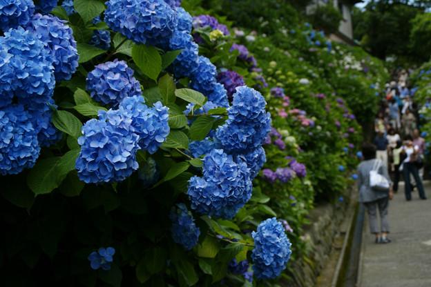 Photos: 紫陽花の坂道、成就院!(6/7)