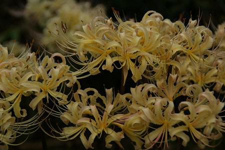 白花マンジュシャゲ090912-256