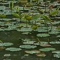 Photos: 蓮の葉に水滴きらきら!(110528)