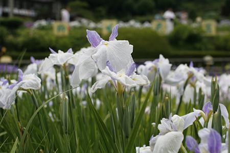 柳生花しょうぶ園 - 08