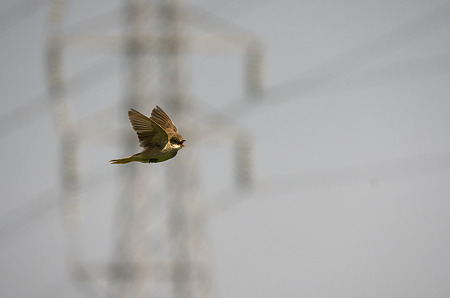 オオヨリキリの飛翔1