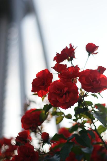 五月二十四日 『花の見ごろ』 ~一日一写~
