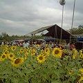 Photos: 【タイ】ひまわり列車 Sunflower Train 2008 [11] ひまわり畑の臨時売店